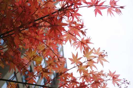 枫树枝红叶景色图片