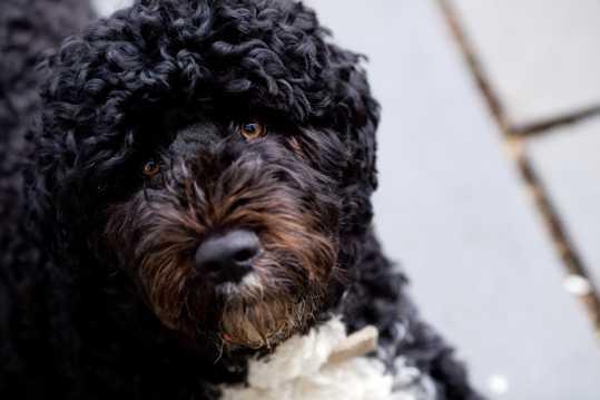 乖巧的泰迪犬图片