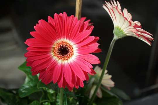 美丽红菊花开花图片