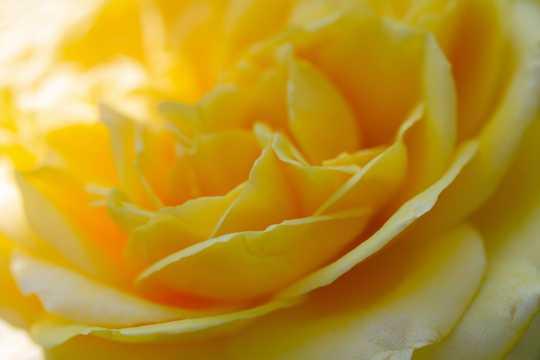 黄色玫瑰花局部特写图片