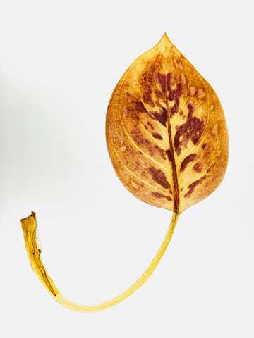 枯黄树叶图片