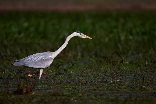 水泽里的苍鹭鸟