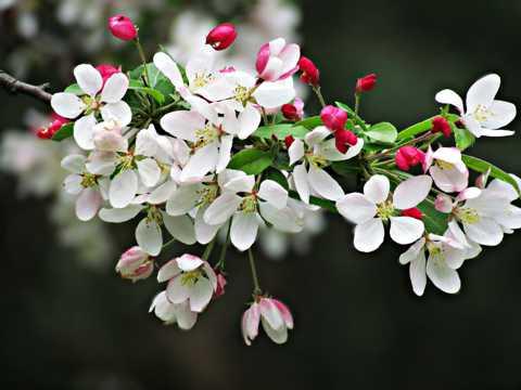 春季白色樱花枝图片