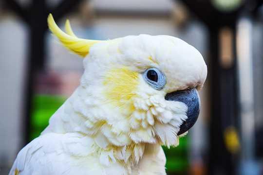 美丽的白凤头鹦鹉