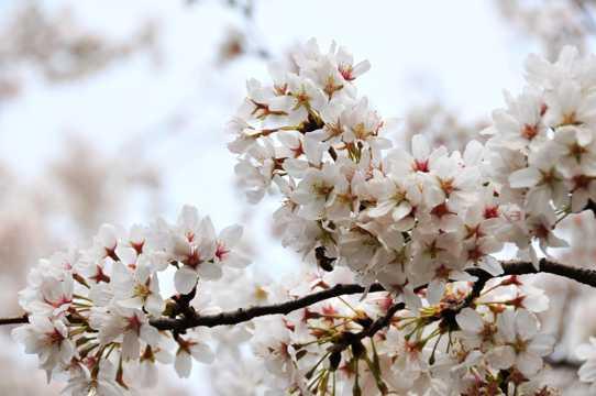 白色樱花图片下载