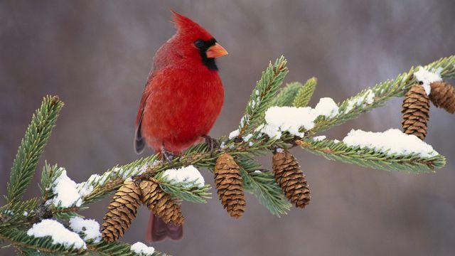 树枝上的北美红雀
