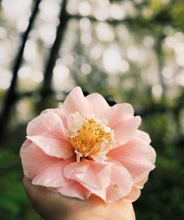 一朵粉色山茶花图片