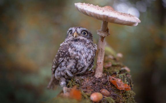 蘑菇下的可爱猫头鹰