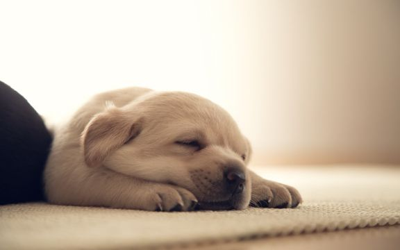 熟睡的小狗