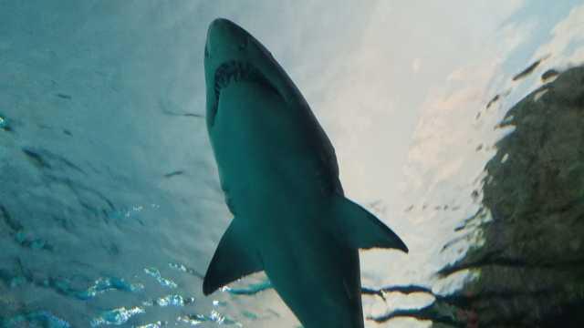 海洋里凶猛的鲨鱼