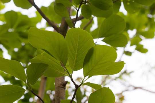 番石榴的树叶