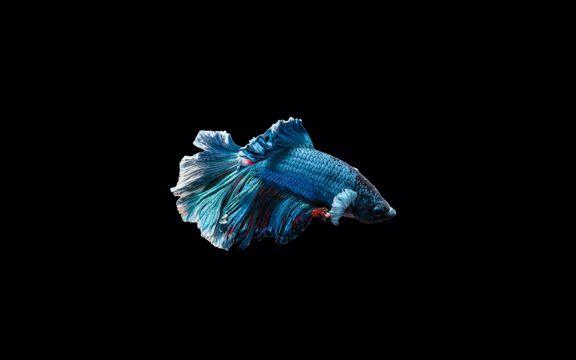 好看的半月鱼
