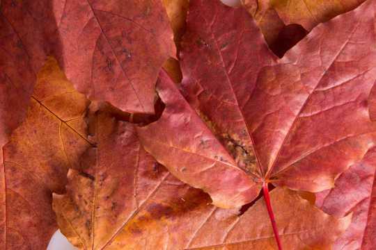 红色的枫叶