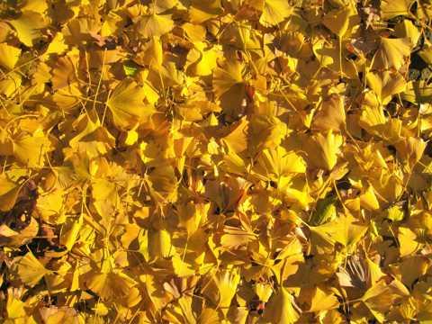 黄色银杏叶子图片