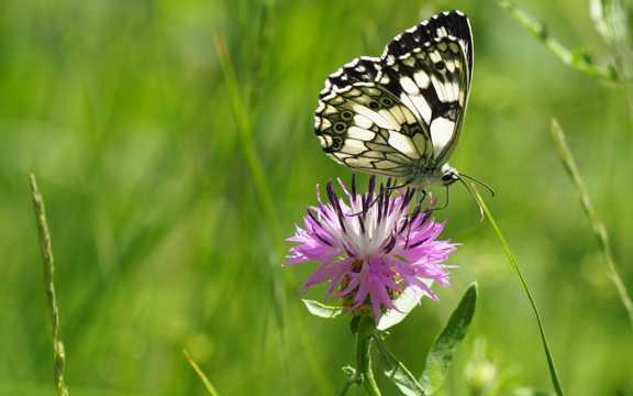 美丽的斑点蝴蝶