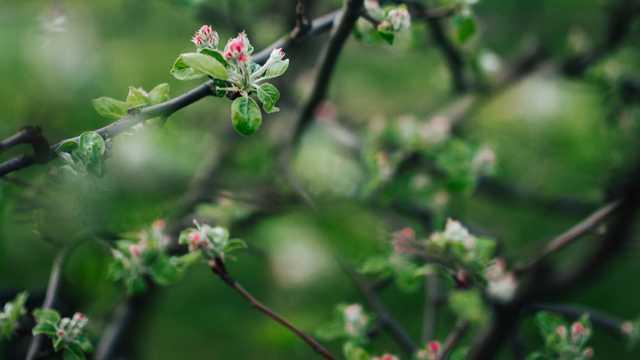 嫩嫩的海棠花