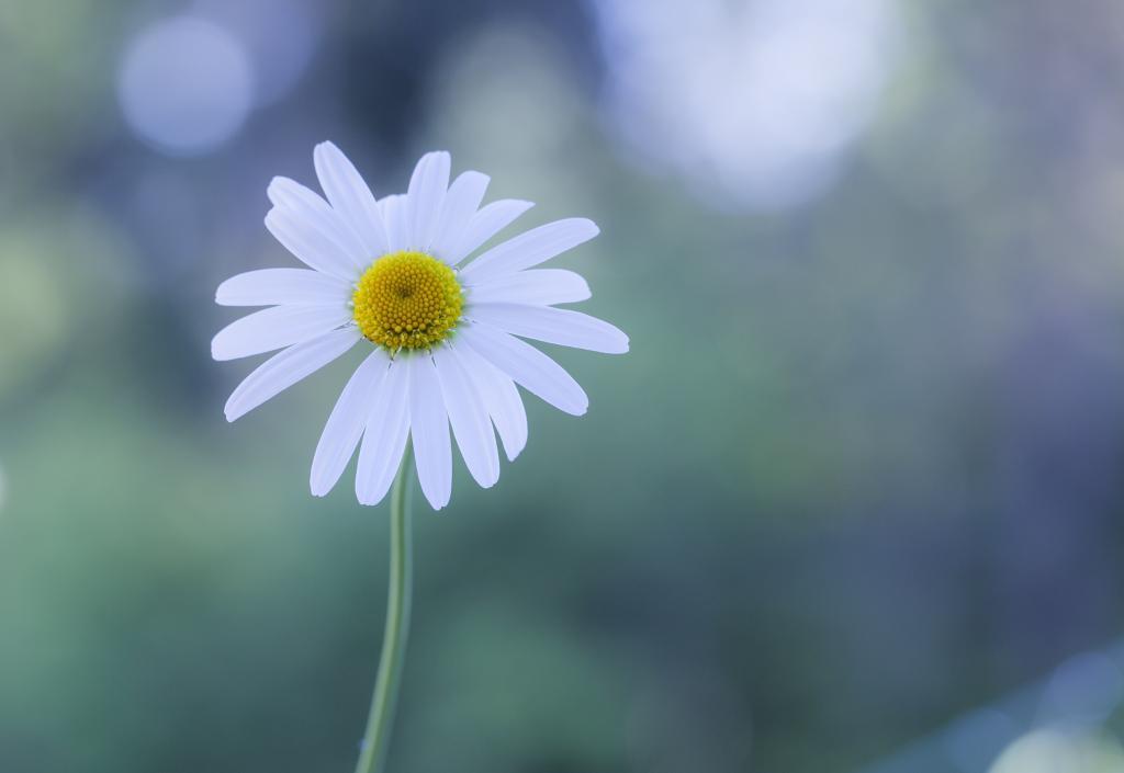 花,白,雏菊,眩光,背景
