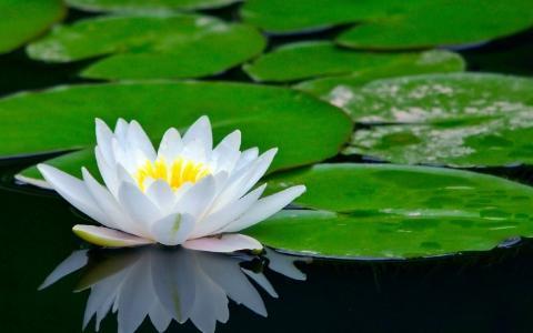 花,莲花,河
