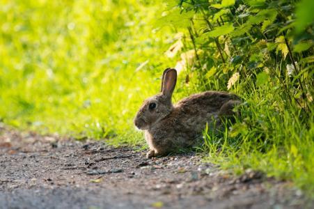 夏天,自然,野兔
