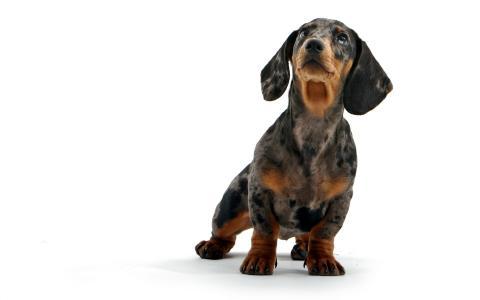 腊肠犬,小狗