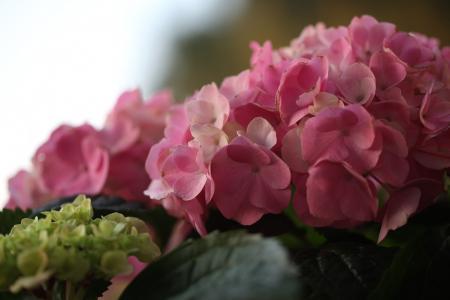 绣球花,宏观,花序