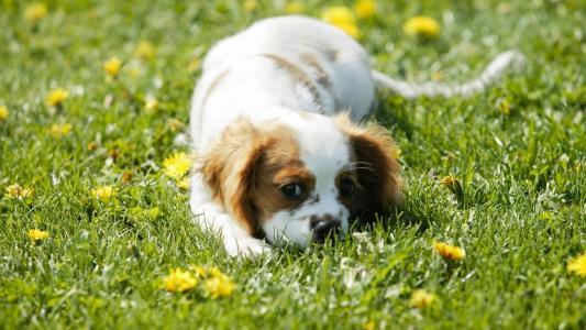 小狗,盛开的草坪