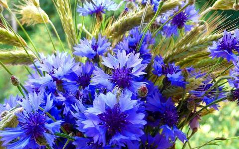 花束,矢车菊,小穗