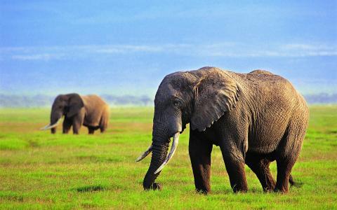 大象,草,天空