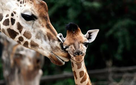 年轻,长颈鹿,长颈鹿camelopardalis