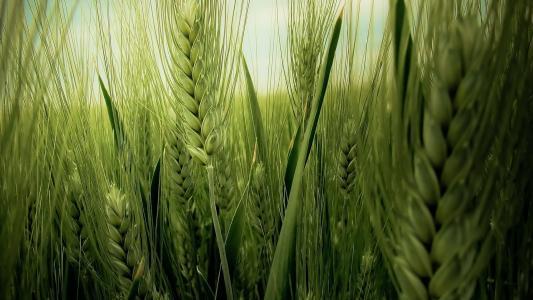 小麦,字段,壁纸