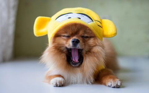 博美犬,有趣,脸