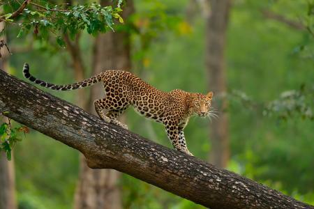 树,野生动物,豹子