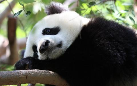 悲伤的熊猫