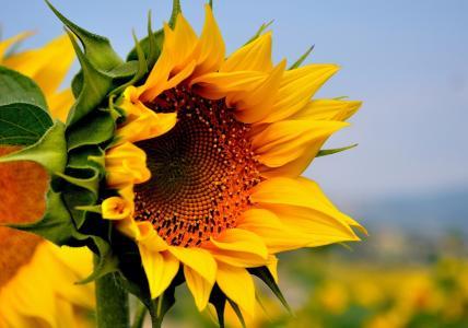夏天,领域,黄色,花,向日葵