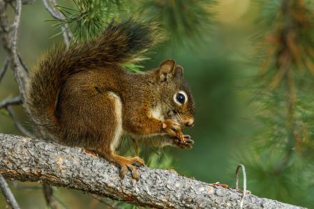 松鼠,树枝,午餐