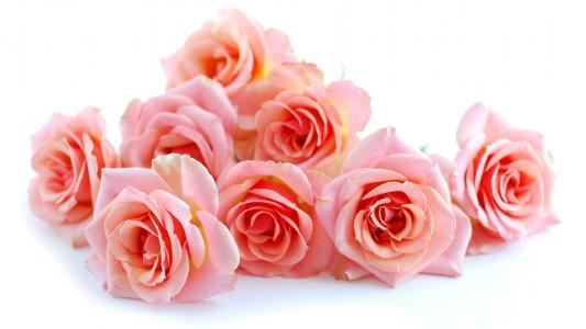 玫瑰,粉红色