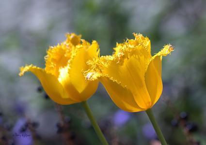 黄色的郁金香,芽,双胞胎,郁金香