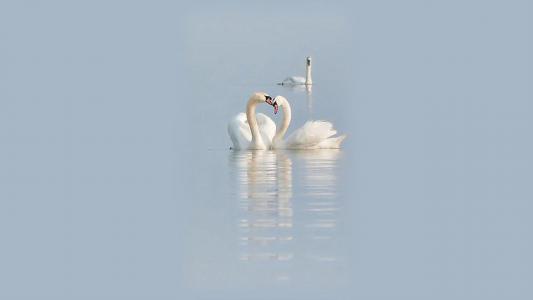 天鹅,水,白色