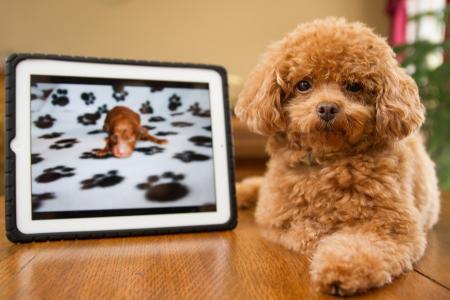 照片,狗,红色