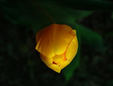 含苞待放的迷人郁金香