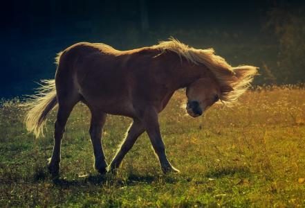 马,马,鬃毛,牧场