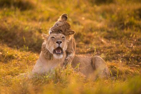 母狮,游戏,狮子