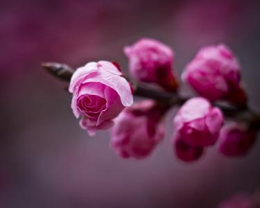 梅花,芽,分支,春天