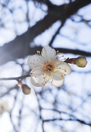 盛开的小清新梅花