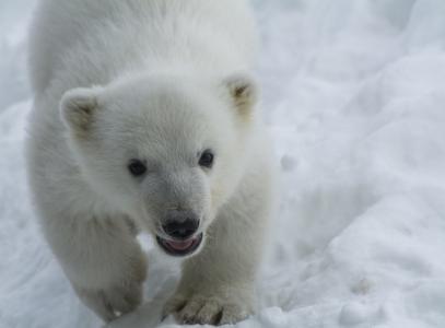 北极熊,熊,小熊,宝贝,幼崽,枪口