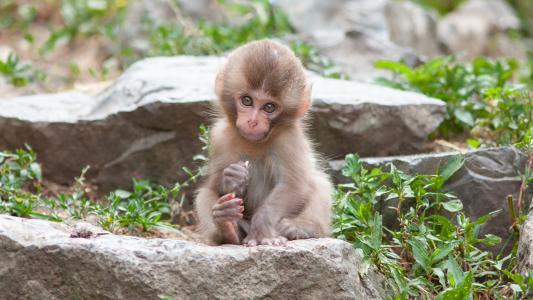 背景,猴子,性质