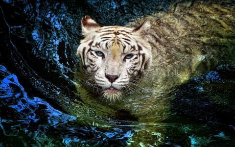 老虎,花车,老虎,白色