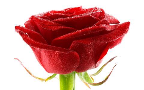 玫瑰,露水,花卉