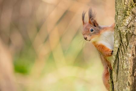 树上憨憨可爱的小松鼠