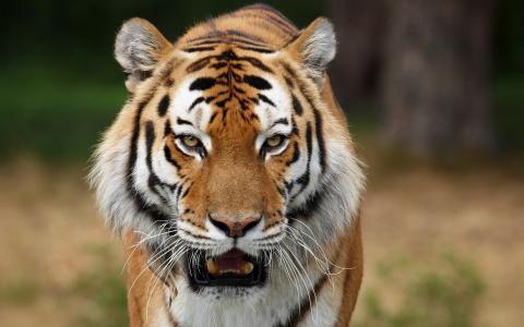 f牙,老虎